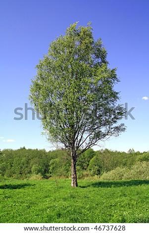 birch on field - stock photo