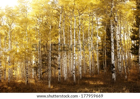 Birch or aspen trees with the yellow leaves of fall bathed in warm sunlight. - stock photo