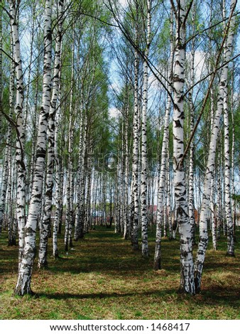 Birch rows in a village - stock photo