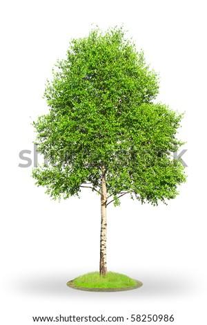 Birch tree (Betula) isolated on white background - stock photo