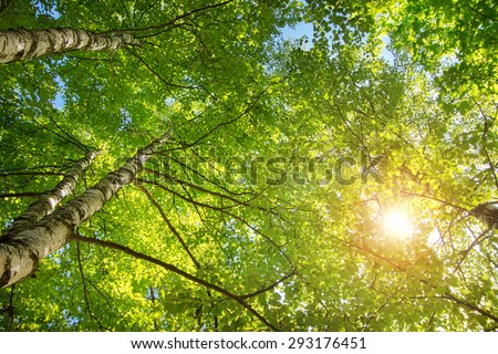 birch tree foliage in morning light with sunlight