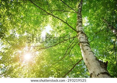 birch tree foliage in morning light with sunlight - stock photo