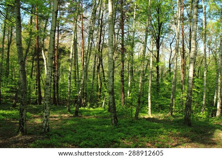 birch tree forest as nice natural background