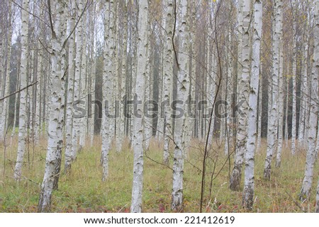 Birch tree forest during Autumn  - stock photo