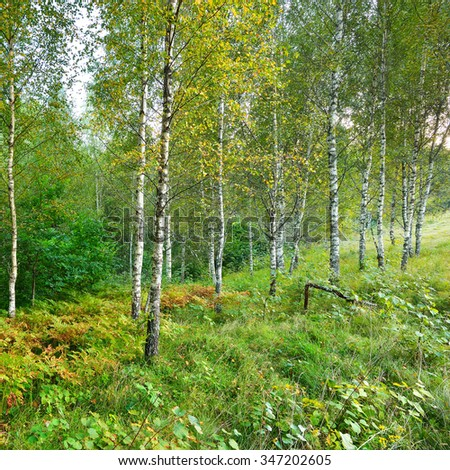 Birch tree forest in Latvia - stock photo