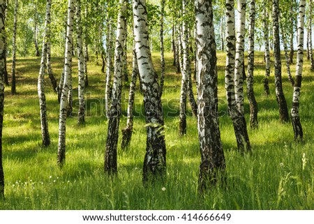 Birch tree green summer russian forest landscape