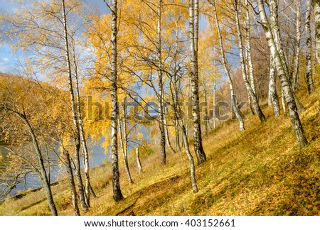 birch tree grove on the river bank in golden autumn