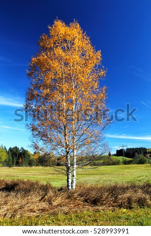 Birch Tree in shiny autumn colors in Pfronten, Bavaria, Germany.