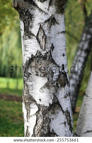 Birch tree photographed close-up on a background of green forest