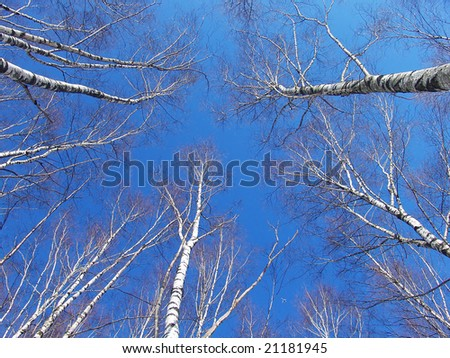 Birch tree tops view by a sunny winter day - stock photo