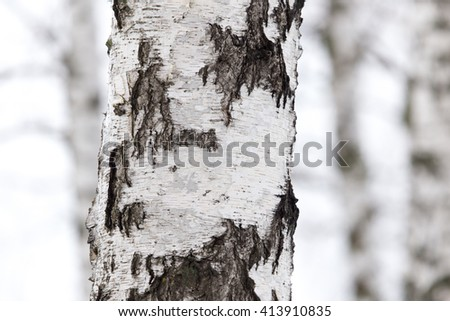 birch tree trunk in a forest in nature