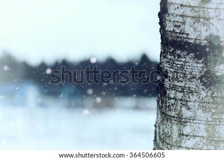 birch tree trunk in winter - stock photo