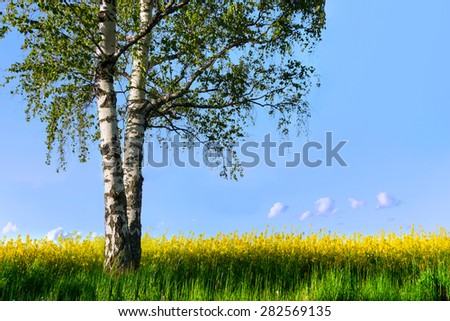Birch tree with fresh green leaves in field with yellow rapeseed flowers - stock photo