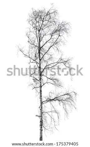 Birch tree without leaves in winter season isolated on white - stock photo