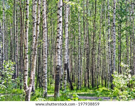 Birch tree woods in the spring - stock photo