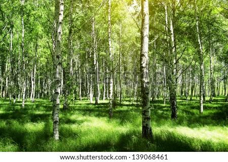 birch trees - stock photo