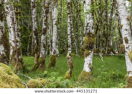 Birch trees and green grass in the Sol Duc campground in Washington.