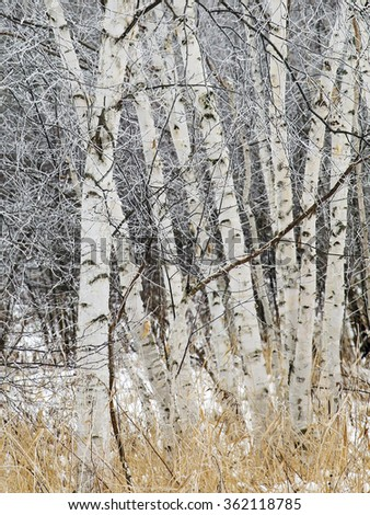 Birch Trees covered in winters hoarfrost.  Winter in Wisconsin - stock photo