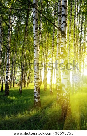 birch trees in a summer forest - stock photo