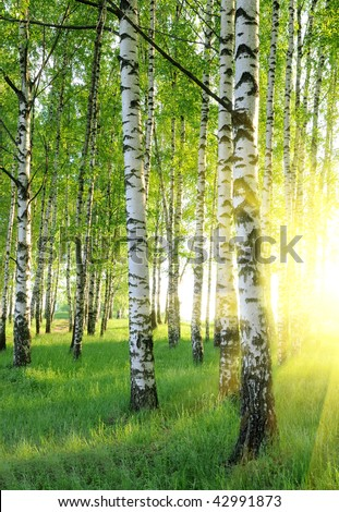 birch trees in a summer forest under bridht sun - stock photo