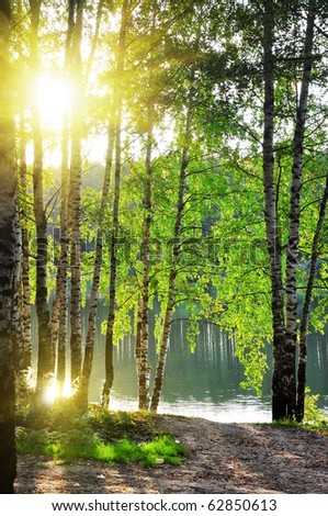 birch trees in a summer forest under bright sun - stock photo