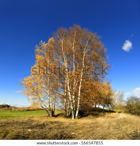 Birch Trees in Autumn Landscape