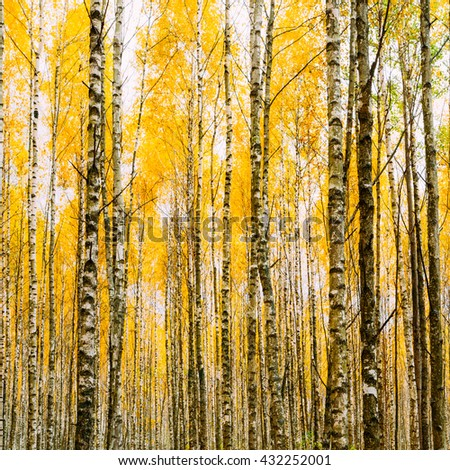 Birch Trees In Autumn Woods Forest. Yellow Foliage. Nobody. Russian Forest. Background