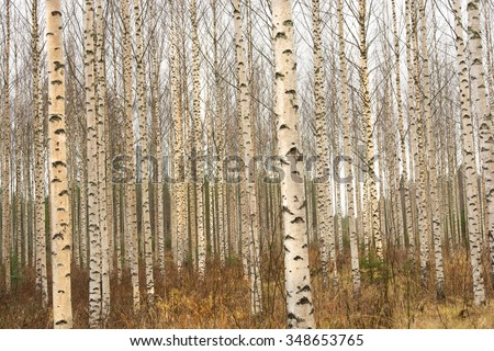 Birch Trees in Finland - stock photo