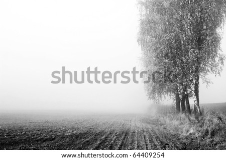 birch trees in misty morning field in black and white - stock photo
