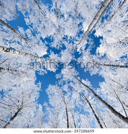 Birch trees in rime on a clear winter day - stock photo