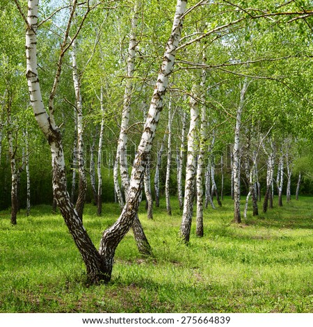 Birch trees in spring - stock photo