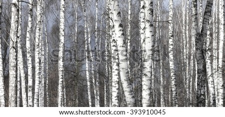 Birch trees on blue sky in early spring
