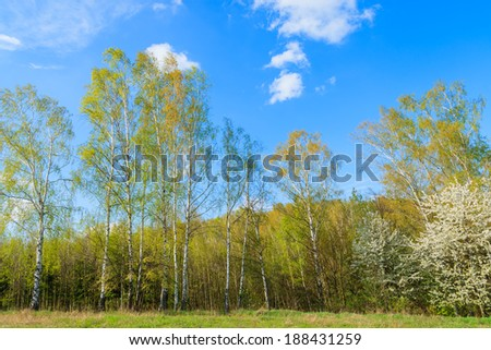 Birch trees on green field in rural landscape of Poland on sunny spring day, Swietokrzyskie near Kurozweki village