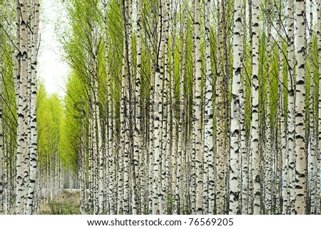 Birch trees with fresh green leaves in spring - stock photo