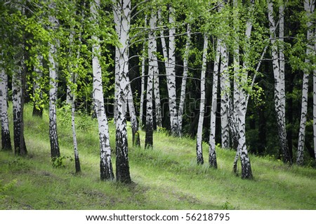 birch trees with lush foliage