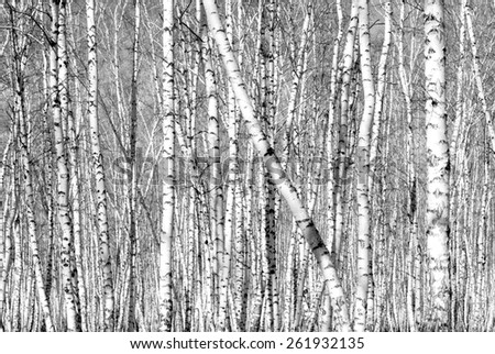 birch trees without leaves in black and white