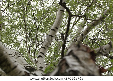 birch trunk and branches of birch close up - stock photo