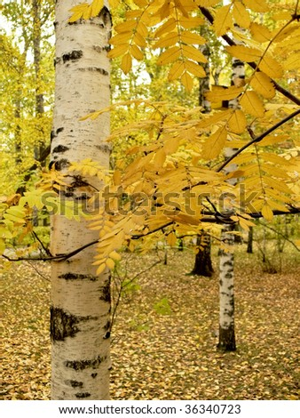 Birch trunk. Autumn, yellow and eaves. - stock photo