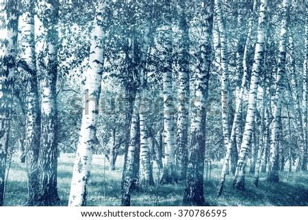 Birch trunks in the park.  - stock photo