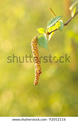 Birch twig with aments - selective focus