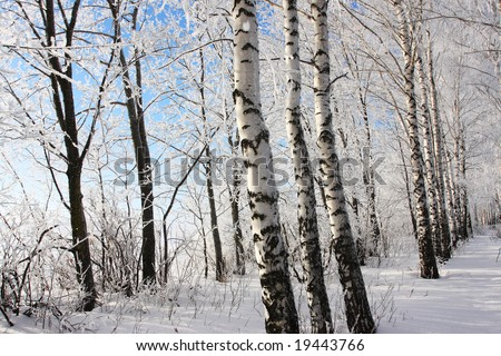 Birch winter alley. Two rows of the trees. - stock photo