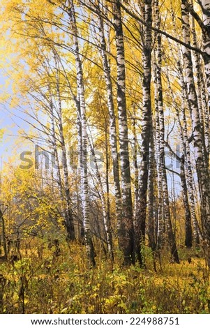 birch with yellow leaves in  autumn