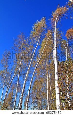 birch wood - stock photo
