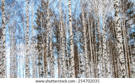 Birch wood in winter blue sky view
