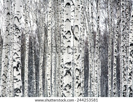 Birches black and white