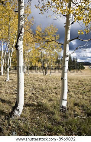 Birches Forest - Kaibab National Forest Arizona USA