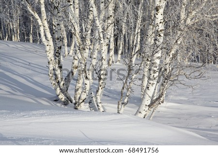 birches in winter in the northeast of china - stock photo
