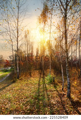 Birches near the river in the autumn