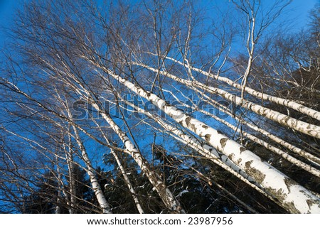 Birches on clear blue sky in winter