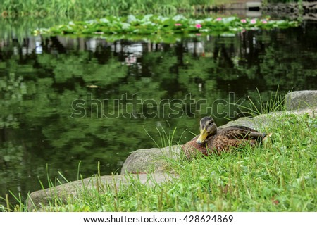Bird. Amazing duck animal on stone. Animal landscape view. Brown duck bird in nature. Animal duck bird laughing. Duck bird animal in water. Awesome duck animal in wildlife Animal - stock photo